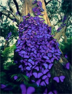 I would love to find these amazing purple butterflies in the garden!