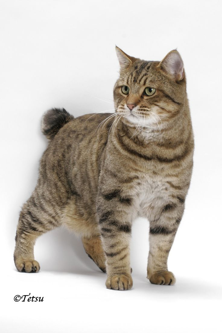 American Bobtail With his short tail, tufted ears and toes, and powerful body, the American Bobtail has a wild look.
