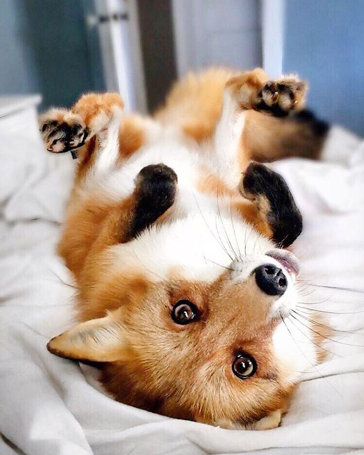 Pet fox. IG @juniperfoxx