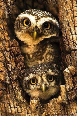 c...Native American Art photo of owls in tree