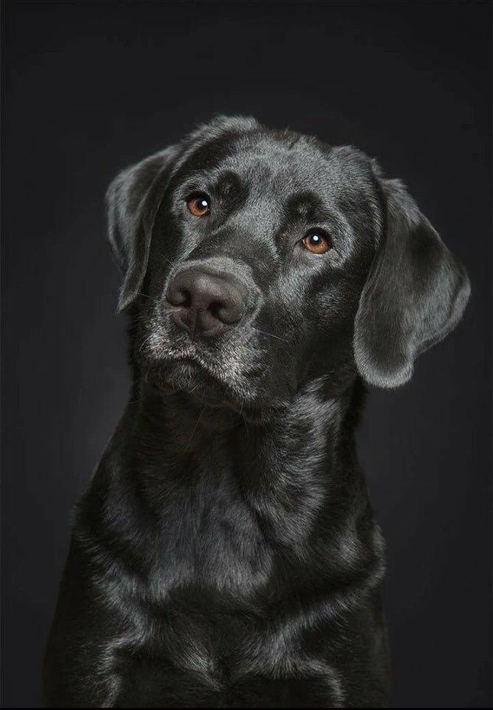 black-lab-profile-picture