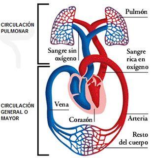 CIRCULACIÓN MAYOR Y MENOR. Ilustración que muestra los dos tipos de circulación. La circulación menor, también conocida como circulación pulmonar comienza en el ventrículo izquierdo y la circulación mayor también conocida como circulación general, comienza en el ventrículo derecho. #Anatomía #Circulación #Mayor #Menor. Briones Pérez Giselle Alejandra. Tortora, 19/02/17