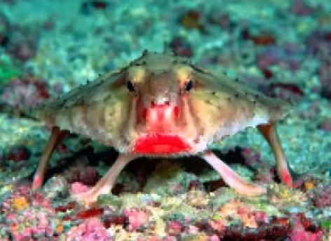 Red Lipped Batfish    http://whatisthewik.com/most/interesting-animals/