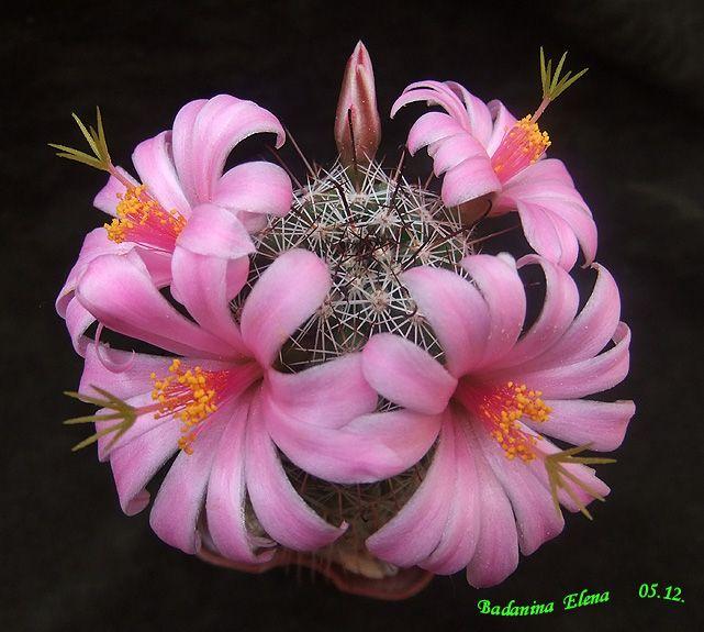 Mammillaria grahami v. oliviae