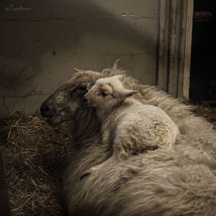 Beautiful lighting illuminates this photo of a lamb cuddling in the wool on its mother's back.