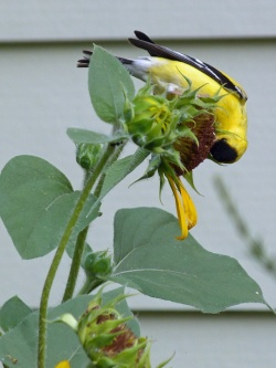 How to Attract Goldfinches to Your Yard Feeders with nyjer seed and plants like sunflowers will bring in the goldfinches!