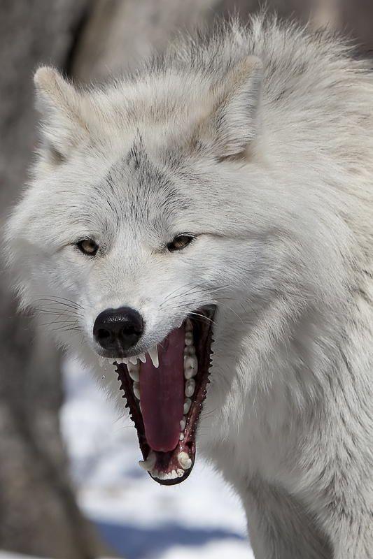 Lobo blanco                                                                                                                                                                                 More
