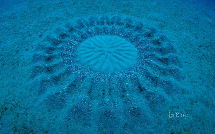 Pattern made by a puffer fish in the sand.