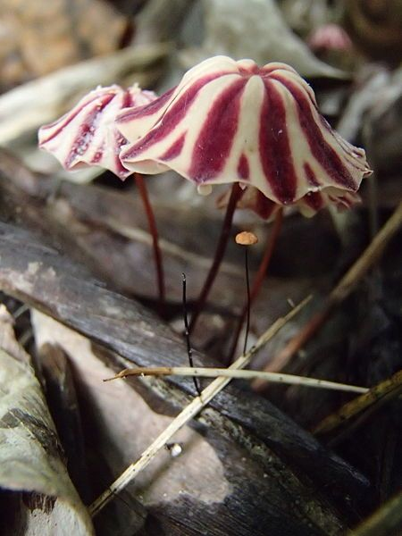 Marasmius sp. Almost as beautiful as flowers! Looks like raspberry ripple ice-cream shaped as an umbrella                                                                                                                                                      More