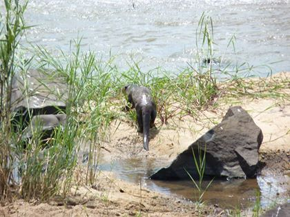 Our guests were treated to a rare sighting of a Cape Clawless Otter this weekend. This lucky otter narrowly escaped the jaws of a hungry crocodile.... an exciting moment for our guests, but not so for the otter.