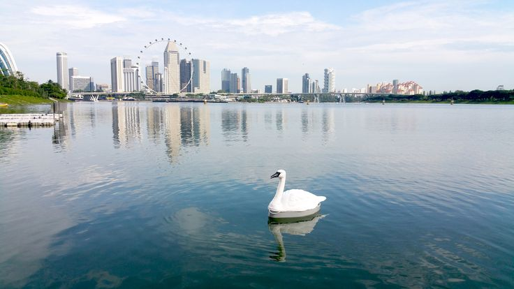 Robotic swans used to monitor quality of Singapore's drinking water.
