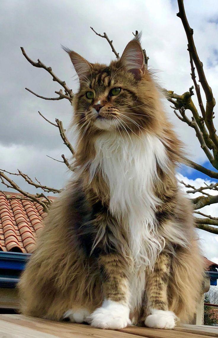Cats Breeds Catsincostumes Refferal 6215486056 Gatos Tiernos メインクーン 珍しいペット 美しい猫