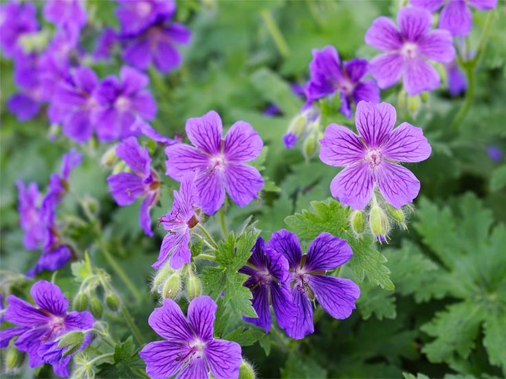 Hardy Geranium: You can plant geraniums anywhere! Ours do great in full shade, and they're a wonderful way to add color to your shade garden. Best plants for a beautiful shade garden