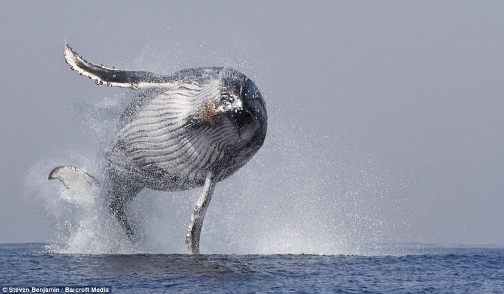 A humpback whale jumps out of the water on June 24, 2013 in Port St. Johns, South Africa. A huge humpback whale leaps out of the water in an amazing display of strength and agility. These awe inspiring pictures were taken in June 2013 by marine tour guide Steven Benjamin who was documenting over 1000 whales migrating from the coast of South Africa to the warmer waters of Mozambique and Madagascar