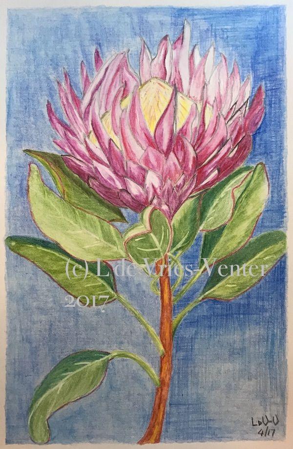 Protea in watercolour pencil. Koh-I-Noor Progresso Aquarelle on 130gsm white paper