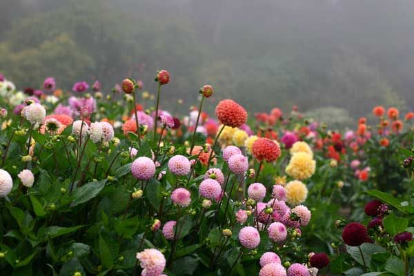 I want to be in this field of flowers!: Ideas, Color, Secret Garden, Dahlias, Plants, Gardens, Bloom, Flowers