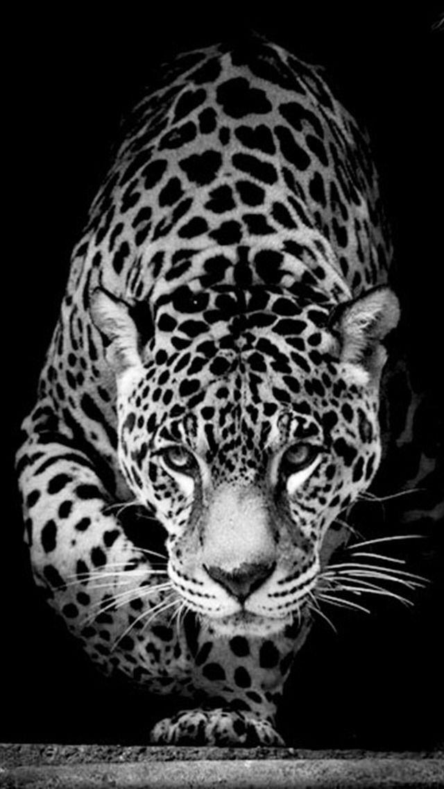 7d854bd5a9d Pin van Frea op Zwart / Wit Fotografie Black / White photography -  Schattige dieren, Zwarte panter en Katten