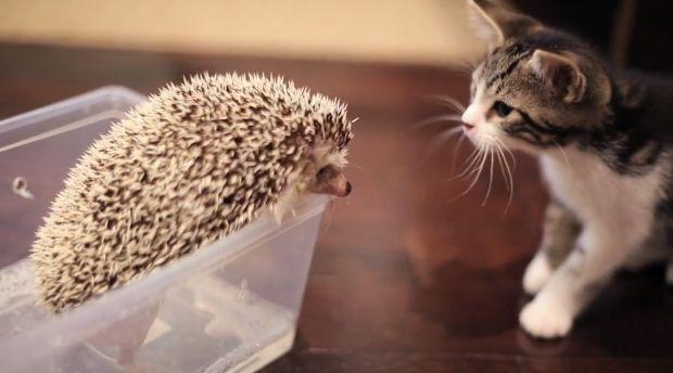 Vídeo fofo: Amizade entre gato e porco-espinho virou hit na web (Foto: Reprodução)