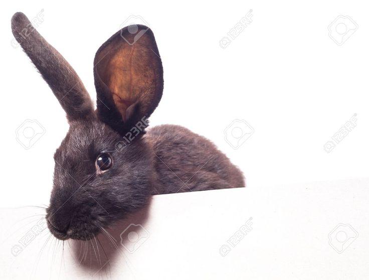 Черный кролик и пустая белая доска, Фотография, картинки, изображения и…