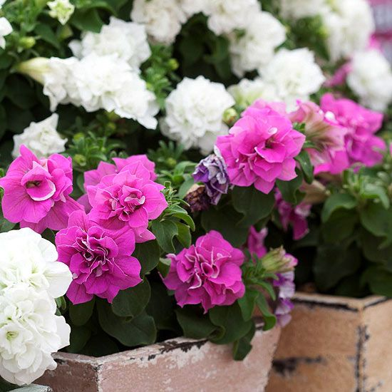 749 best gf pretty petunias their pals images on for Surfinia balcone