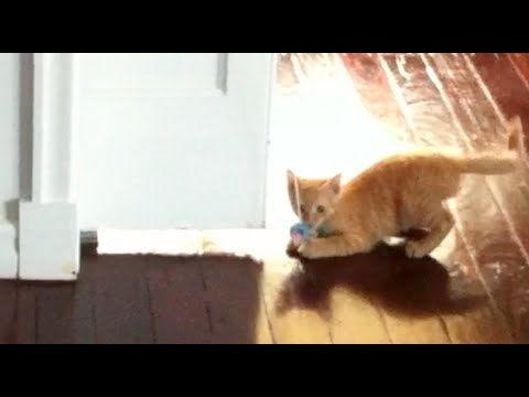 Kitten loves playing with string toy - Autumn the Ginger Ninja Episode 12 #HopeCats #TheGingerNinja #CuteKitten #GingerKitten
