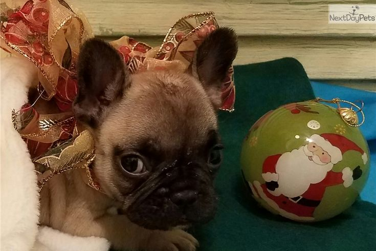 French Bulldog puppy for sale near Houston, Texas