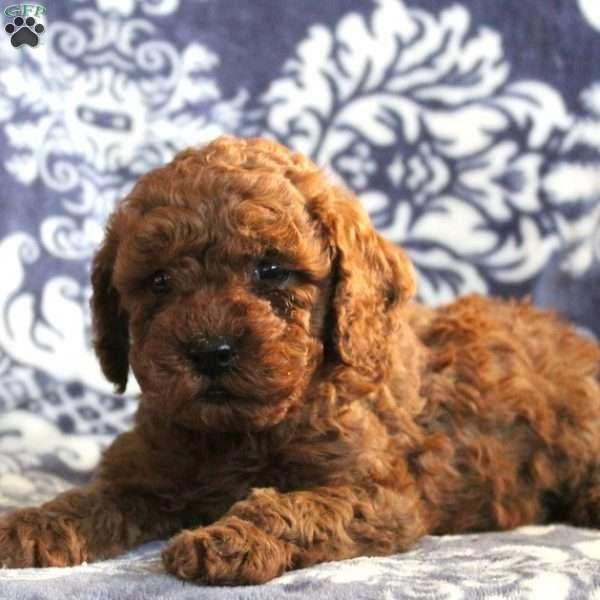 Find Out More On The Athletic Poodle Puppies And Kids