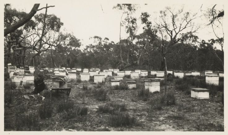 Bee hives in the Wimmera-Mallee district, ca.1925. Photo: State Library of Victoria's Victorian Railways Reso Tour photographs.