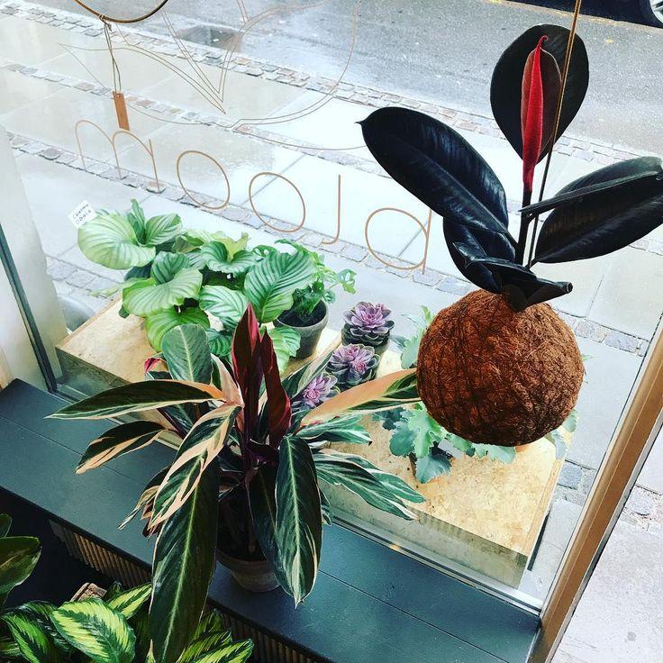 """43 Synes godt om, 1 kommentarer – Bloom (@bloom_cph) på Instagram: """"Smuk XL planteplanet 🌱 #bloomcph #planteplaneter #kajaskytte #urbanjunglebloggers #houseplantclub…"""""""