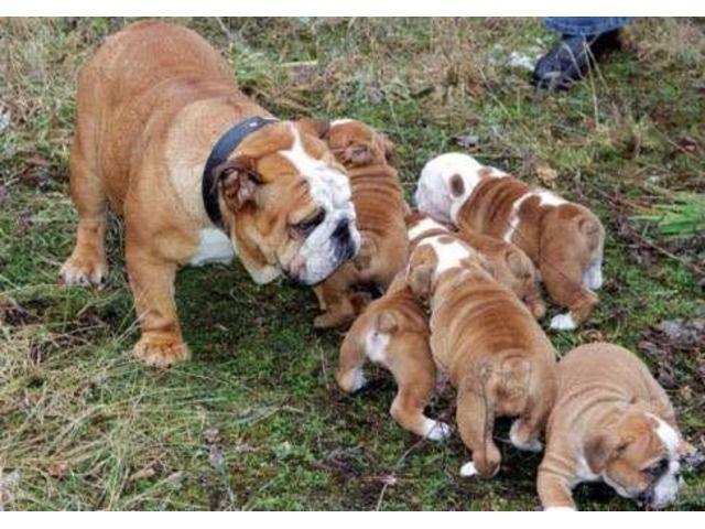 Excellentlitter Englishbulldogpuppiesforsale English Bulldog