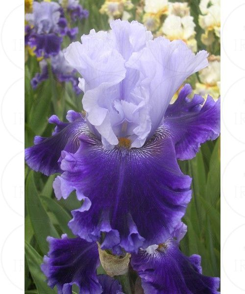 Global Crossing - Tall Bearded Iris