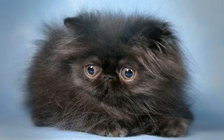 Black Persian Kitten