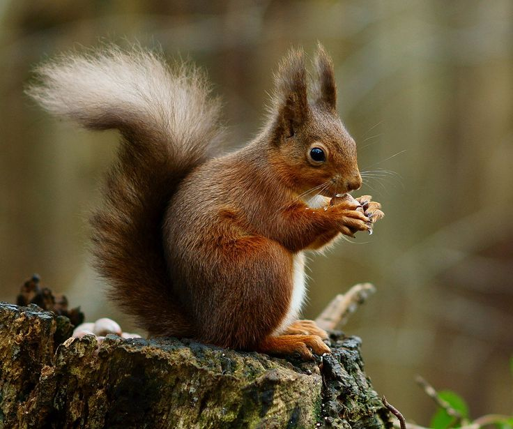 Squirrel posing - Red squirrel - Wikipedia
