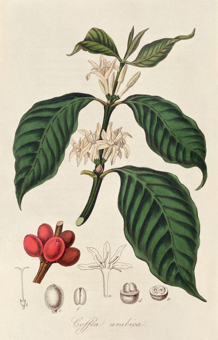 COFFEE PLANT                                                       …