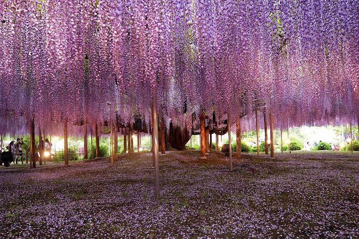 Самое красивое в мире дерево глицинии (вистерии) в Японии