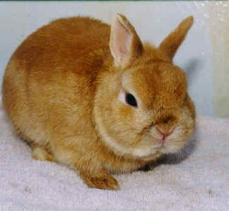 "... Orange Netherland Dwarf rabbit named ""Just So"" from Barbi Brown's"
