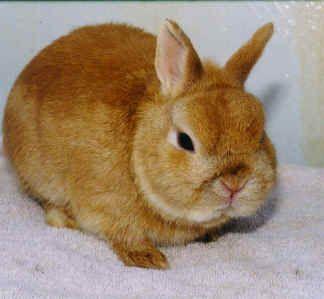 Orange Netherland Dwarf Rabbits