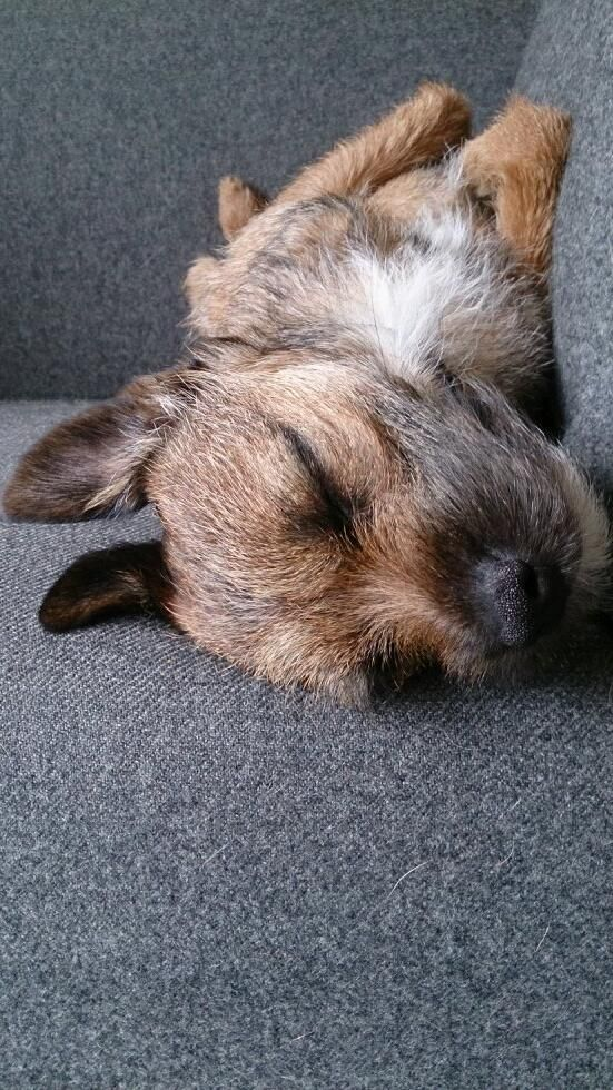 Freddie | Border Terrier  Toby does this all the time <3