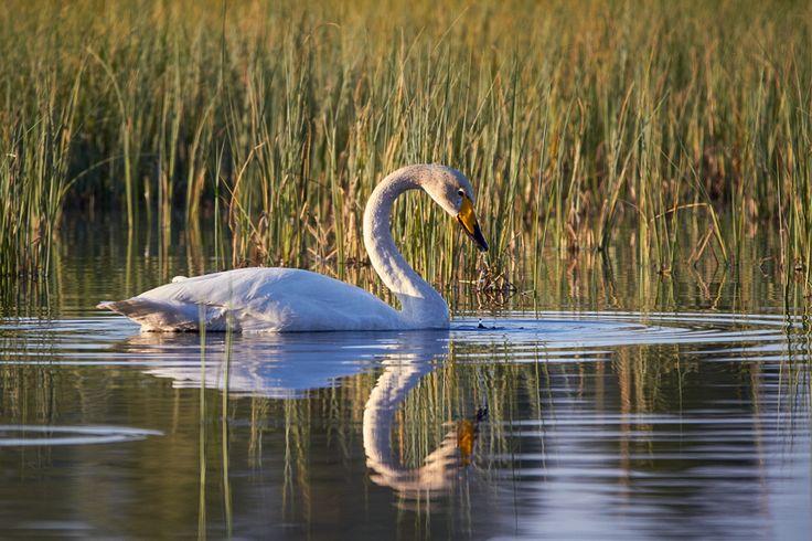 Swan Reflection - Valokuvaus ja kuvankäsittely | Digikuvaaja.net