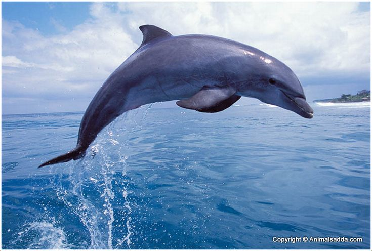 Bottlenose Dolphin - Facts, Habitat, Behavior, Pictures ...