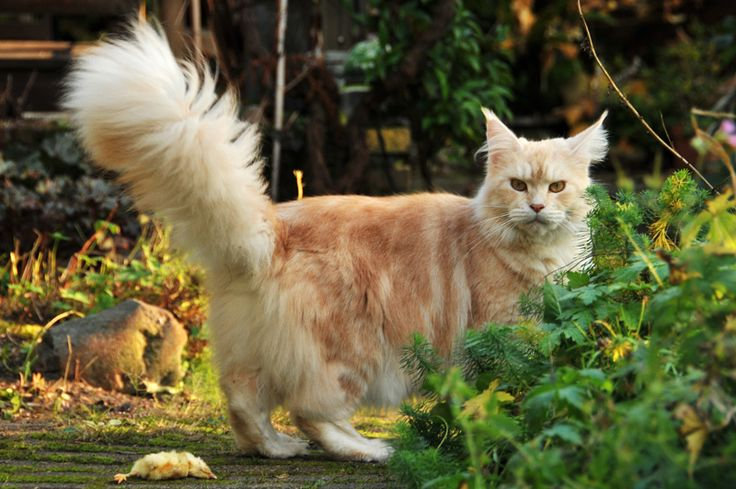 Maine Coon, Red Silver Blotched (ds 22). Hayj You Coons Kayla