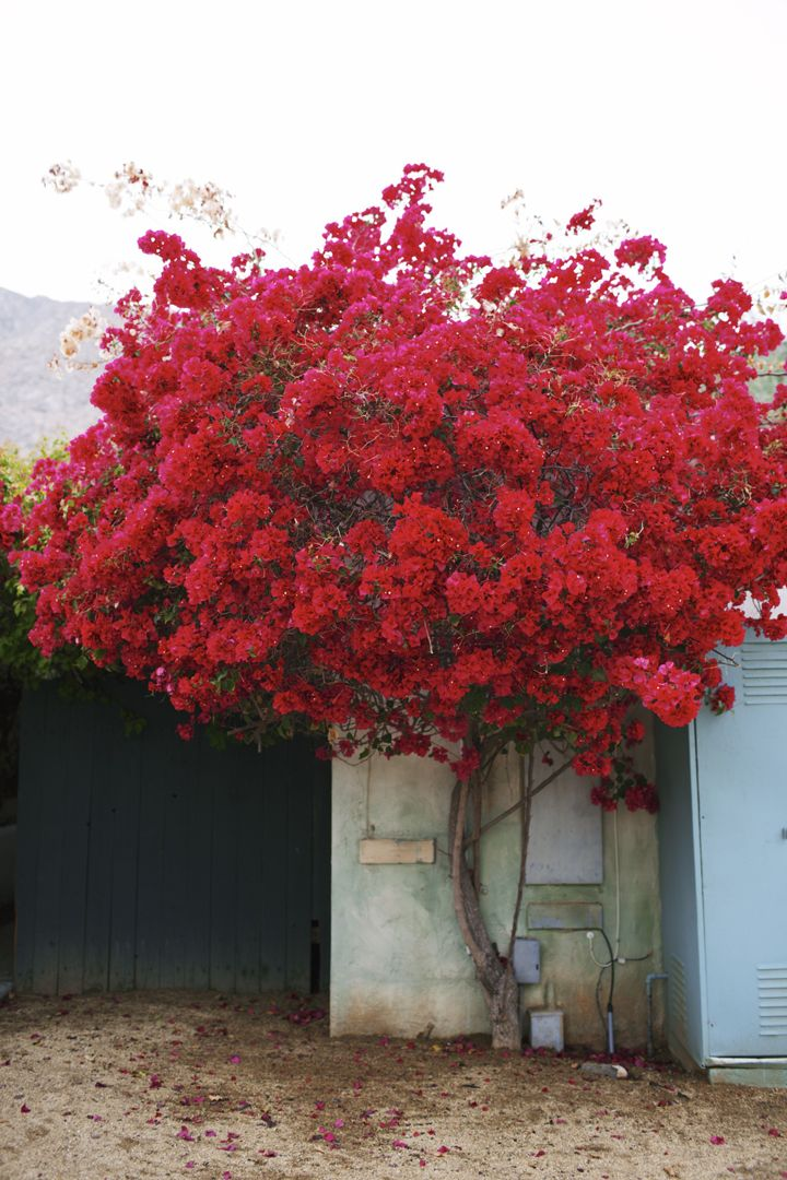 bougainville at the Korakia Pensione, Palm Springs.