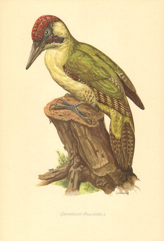 1953 European Green Woodpecker  Picus by CabinetOfTreasures