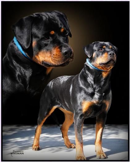 (Rottweilers) So strong & serious, I'd love to have one...