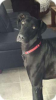 El Paso, TX - Great Dane. Meet Kitty, a dog for adoption. http://www.adoptapet.com/pet/16323904-el-paso-texas-great-dane