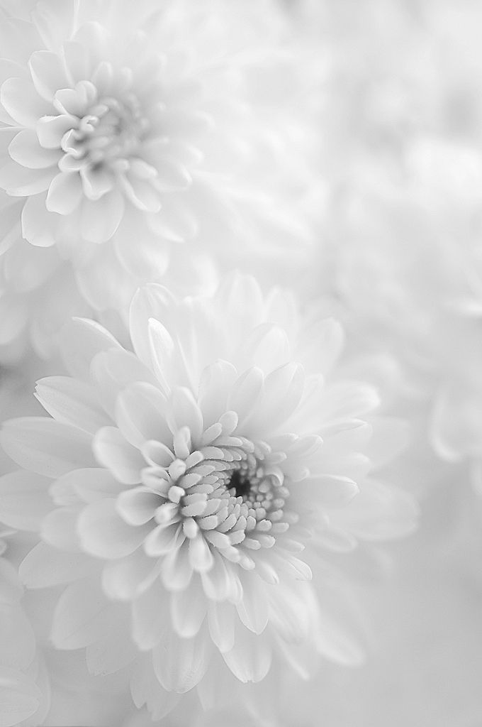 White Chrisanthemums by Scarlet Black on Flickr.
