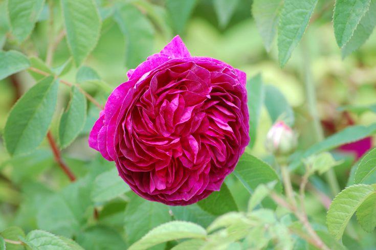 Charles de Mills - Rosa gallica - Hongiston TaimistoHongiston Taimisto