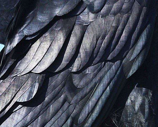 Crow feathers Photography by Dan Elster | Splendid Plumage ...