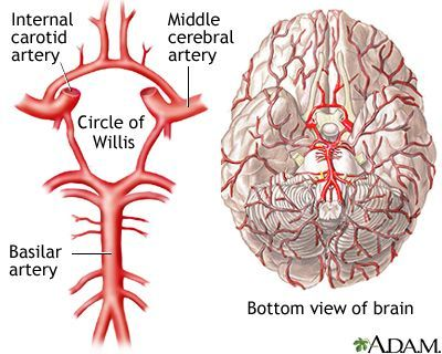 Circle of Willis is the joining ar ea of several arteries at the bottom (inferior) side of the brain. At the Circle of Willis, the internal carotid arteries branch into smaller arteries that supply oxygenated blood to over 80% of the cerebrum. Blockage of blood flow to the brain for even a short period of time can be disastrous and cause brain damage or even death.