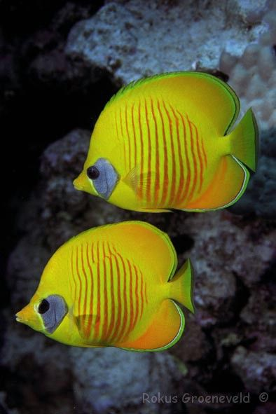 The Masked Butterflyfish is found in the Red Sea and in the Gulf of Aden. Masked Butterflyfish feed on coral polyps, tentacles of featherdusters, and Christmas-tree worms.